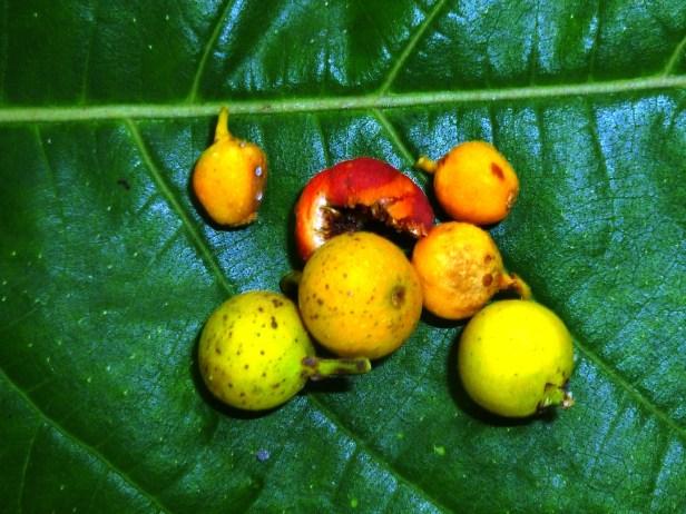 Ficus melinocarpa by Mike Bukit Bendera 27 - Copy.JPG