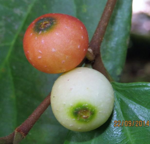 Ficus parietalis IMG_0121 - Copy.JPG