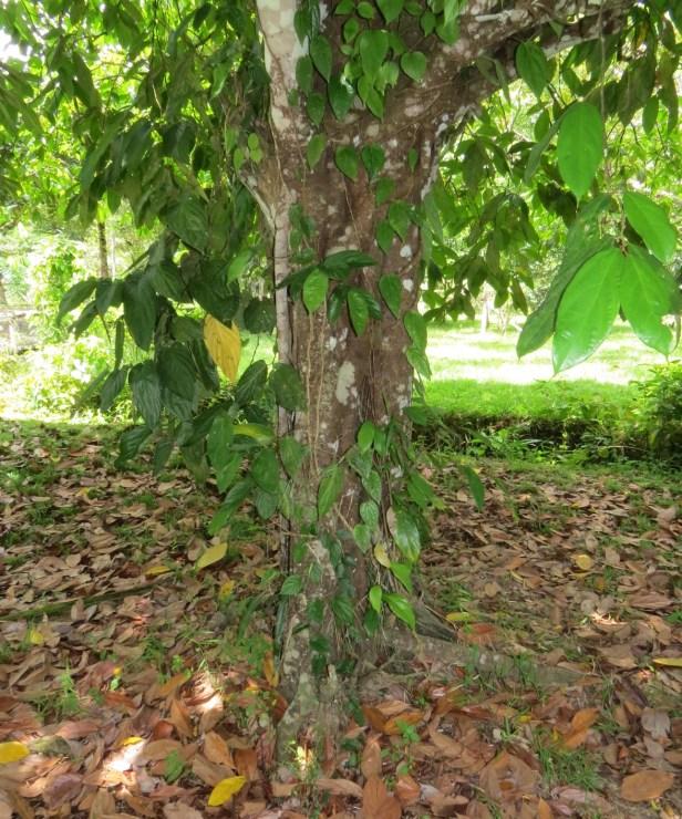 Ficus parietalis IMG_0126 - Copy.JPG