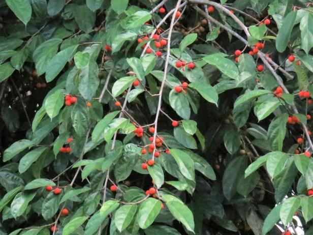 Ficus parietalis IMG_0139 - Copy.JPG