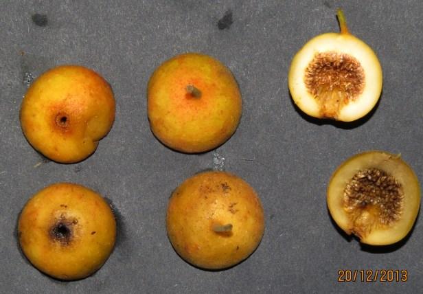 Ficus parietalis IMG_6040 - Copy.JPG