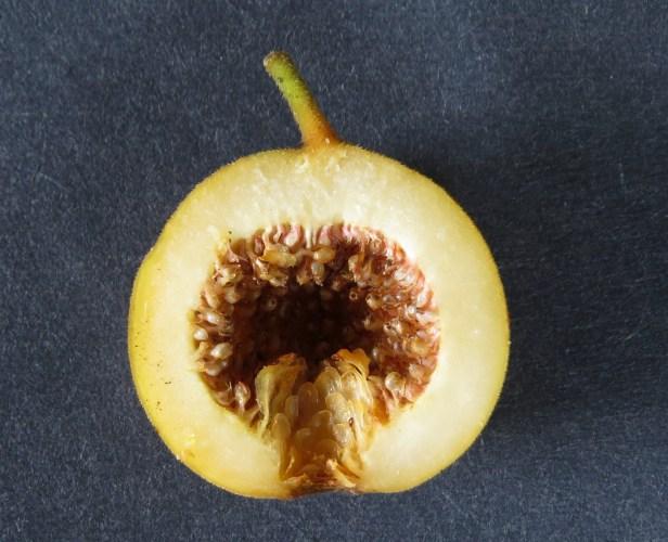 Ficus parietalis IMG_6048 - Copy.JPG
