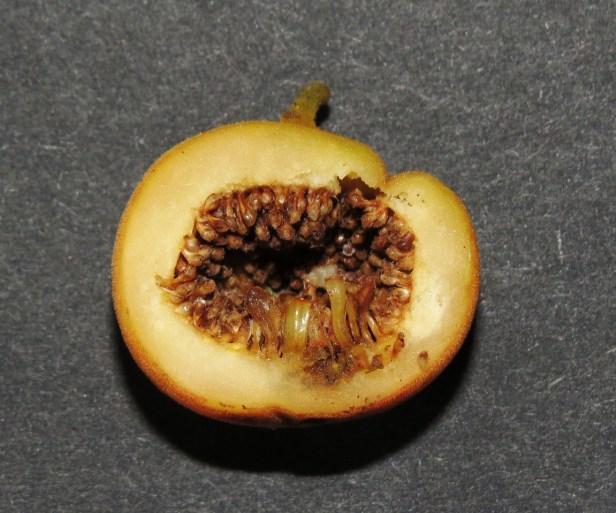 Ficus parietalis IMG_6056.JPG