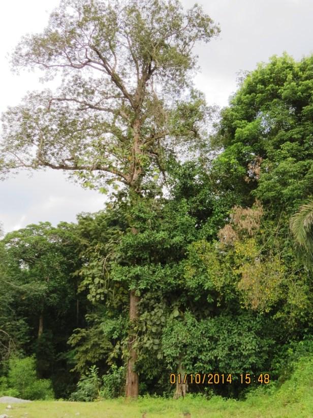 Ficus pisocarpa IMG_0233 - Copy.JPG