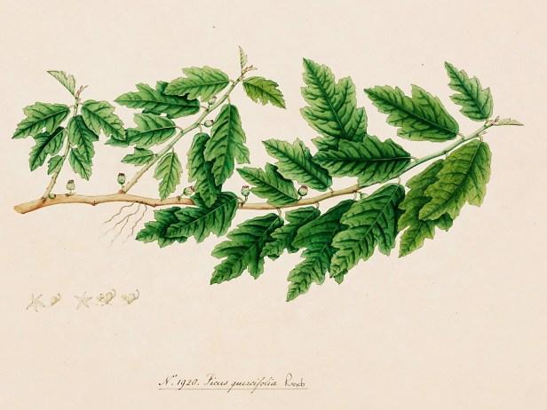 Ficus quercifolia Roxburg 1920 illus.jpg