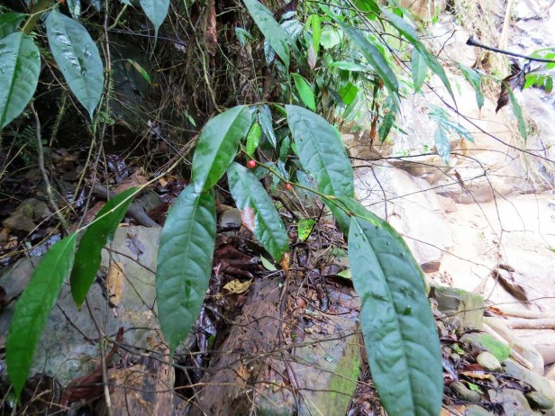 Ficus rubrocuspidata IMG_2111.JPG