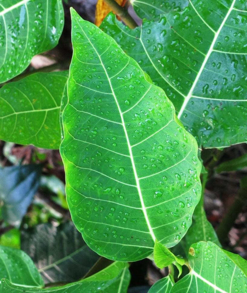 Ficus septica: Introduction – THE FIGS OF BORNEO