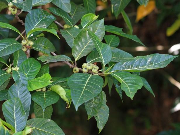 Ficus septica IMG_5358.JPG