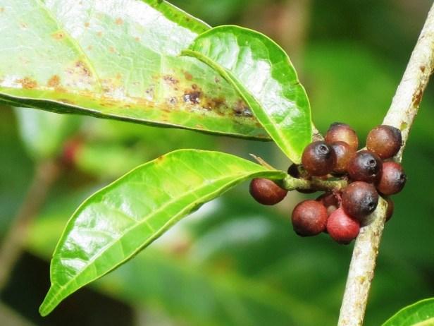 Ficus sinuata figs IMG_2898 (2).JPG