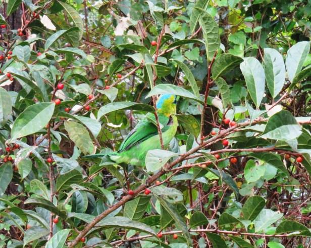 Ficus sinuata IMG_0110 - Copy.JPG