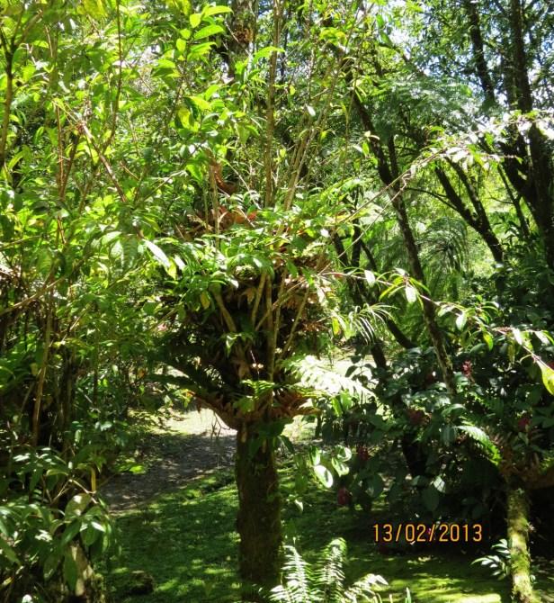 Ficus sinuata IMG_2839.JPG