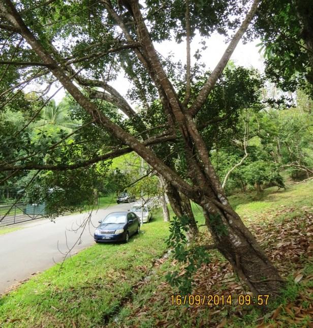 Ficus spathulifolia IMG_0251 - Copy.JPG