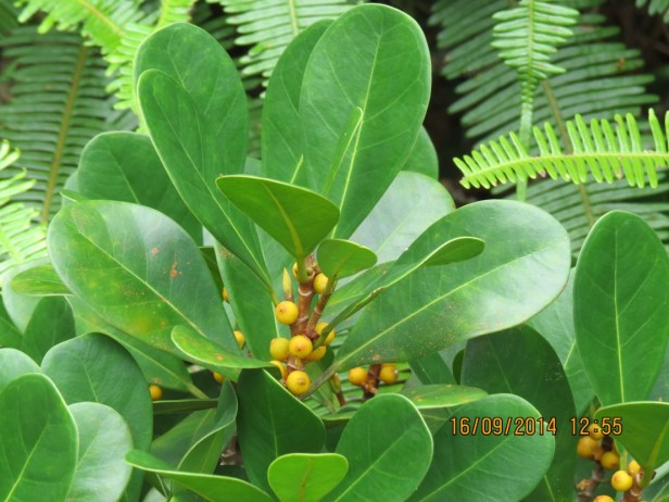Ficus spathulifolia IMG_0350 - Copy.JPG