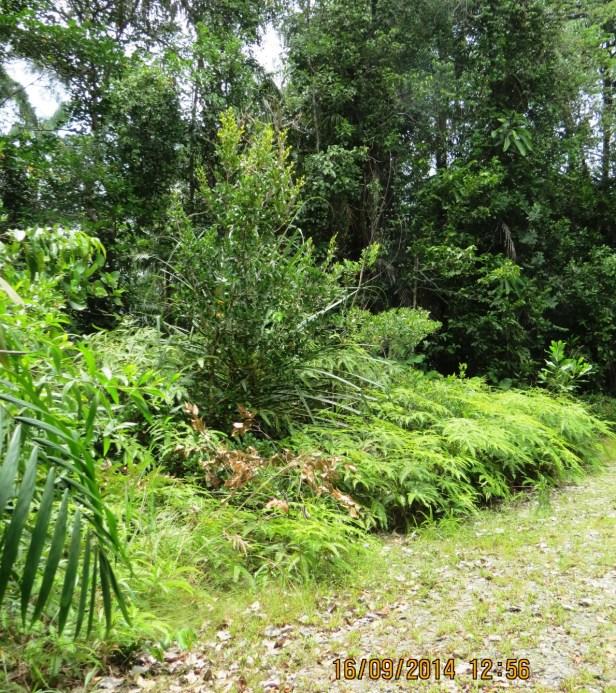 Ficus spathulifolia IMG_0359 - Copy.JPG