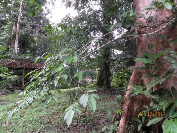 Ficus subulata IMG_6326 - Copy.JPG