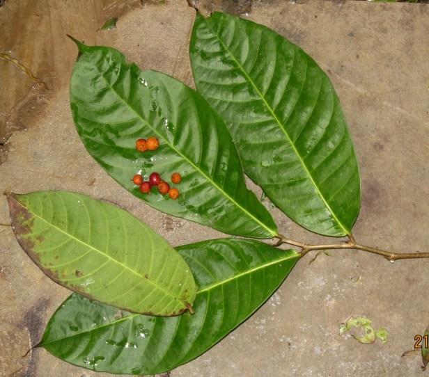 Ficus subulata IMG_6409.JPG