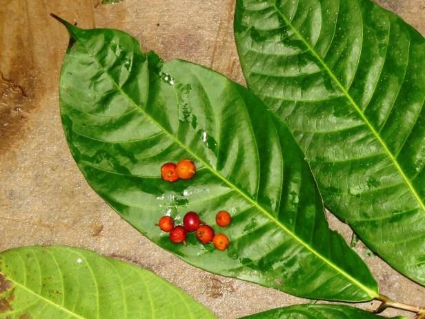Ficus subulata IMG_6411 - Copy (2).JPG