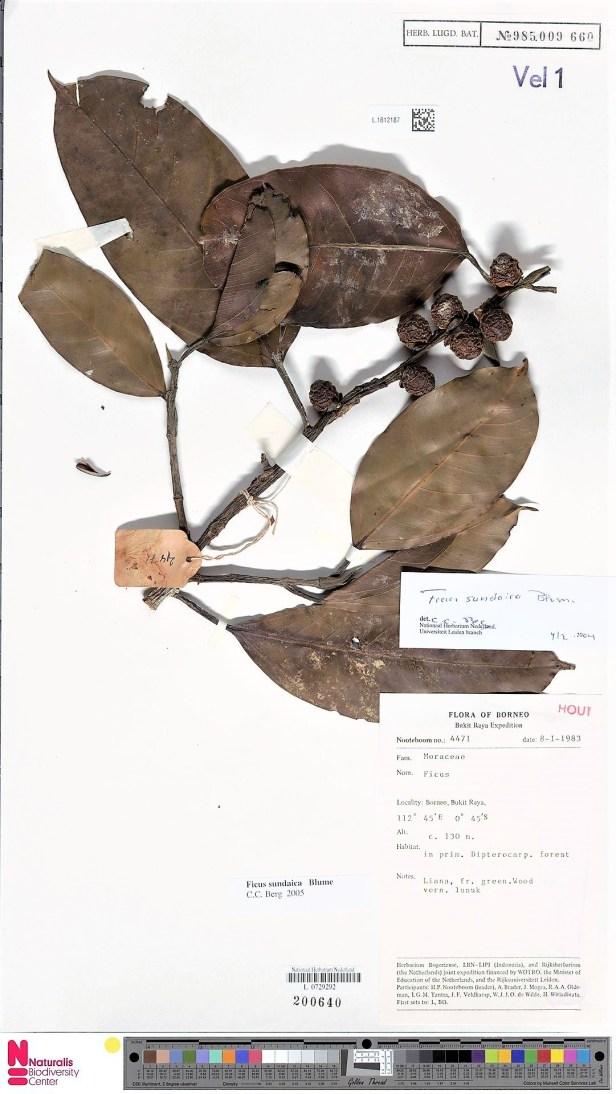 Ficus sundaica Form A, Bukit Raya.jpg