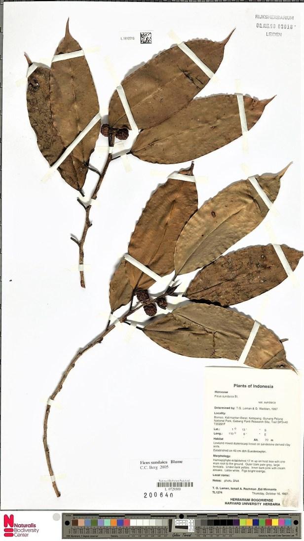 Ficus sundaica, Form A Gng Palung.jpg