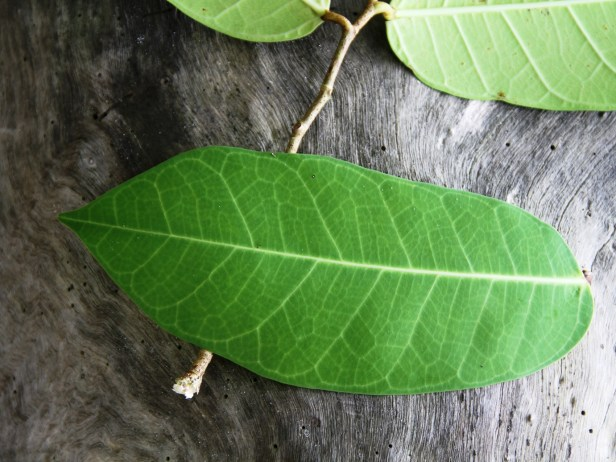 Ficus tinctoria IMG_2524 - Copy.jpg