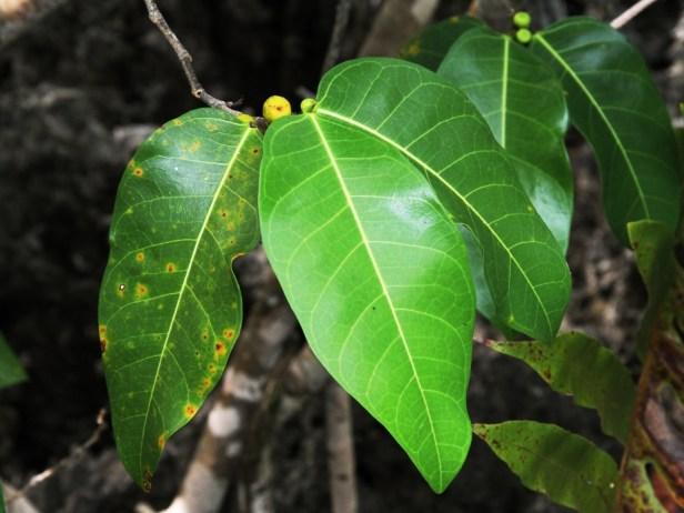 Ficus tinctoria IMG_9627.jpg