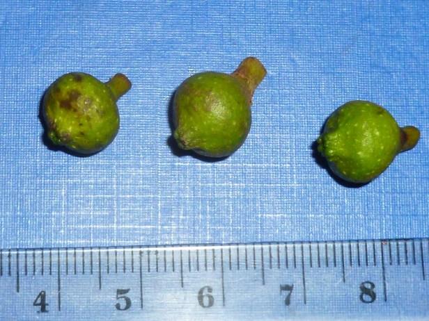 Ficus trichocarpa  12.JPG