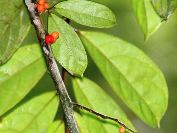 Ficus uniglndulosa 6091.JPG