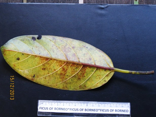 Ficus xylophylla IMG_3384 - Copy.JPG