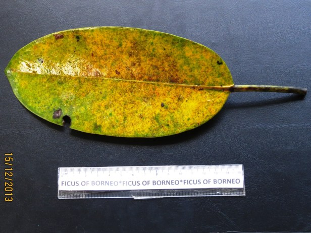 Ficus xylophylla IMG_3388 - Copy.JPG