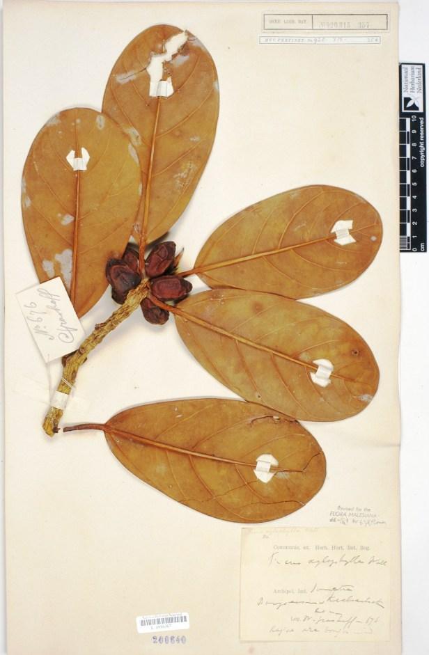Ficus xylophylla L0886367_HERB - Copy.jpg