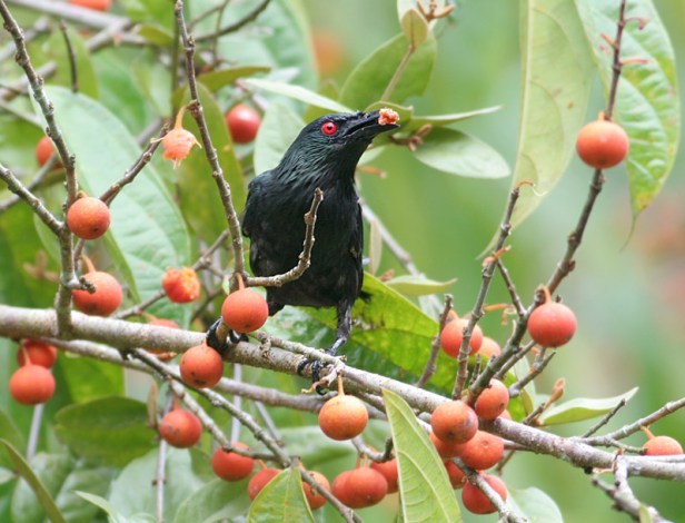 Glossy Starling on F parietalis at Sepilok Peter E.IMG_9539sm[1].jpg