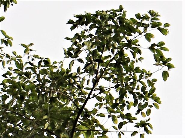 02 Ficus dubia - Copy.JPG