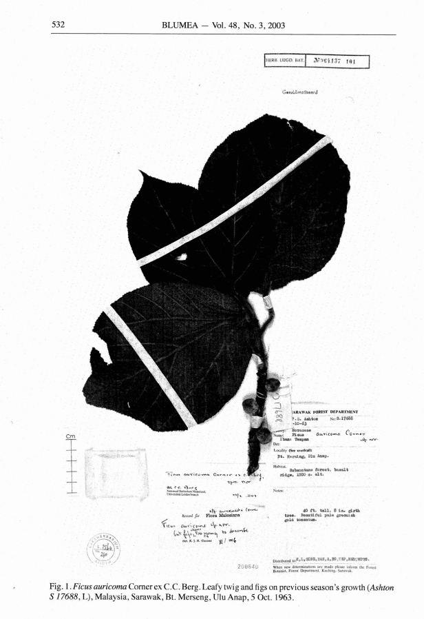 Ficus auricoma TYPE specimen Ashton.jpg