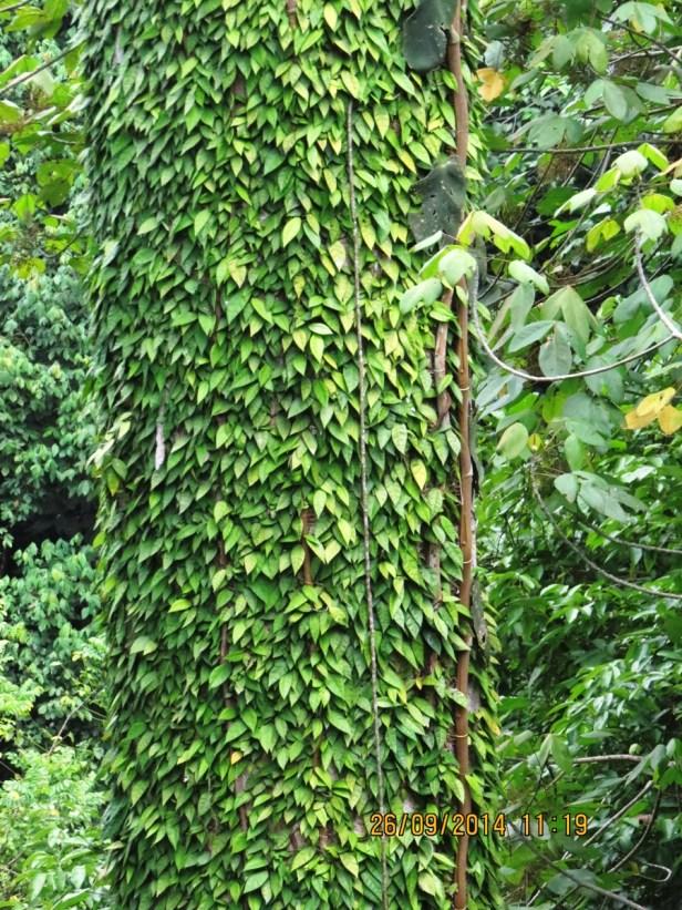 Ficus barba-jovis IMG_0141 - Copy.JPG