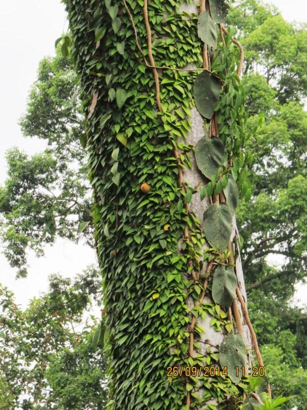 Ficus barba-jovis IMG_0142 - Copy.JPG