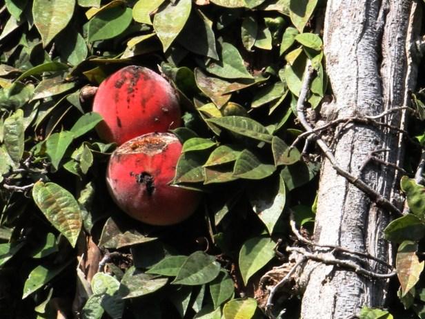 Ficus barba-jovis IMG_2613 - Copy.JPG