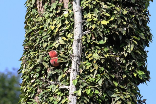Ficus barba-jovis IMG_2614 - Copy (2).JPG