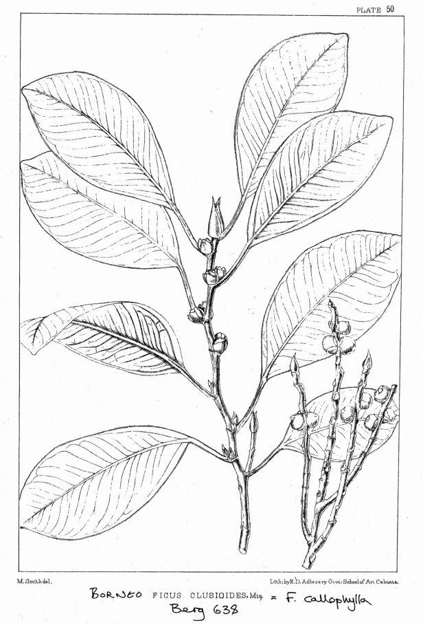 Ficus  callophylla King (1887).jpg