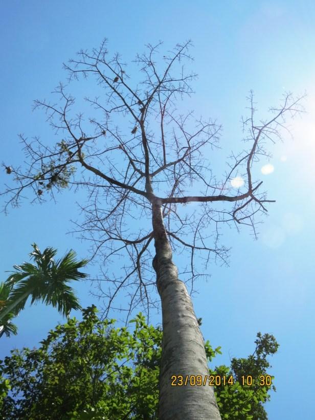 Ficus callosa IMG_0261 - Copy.JPG