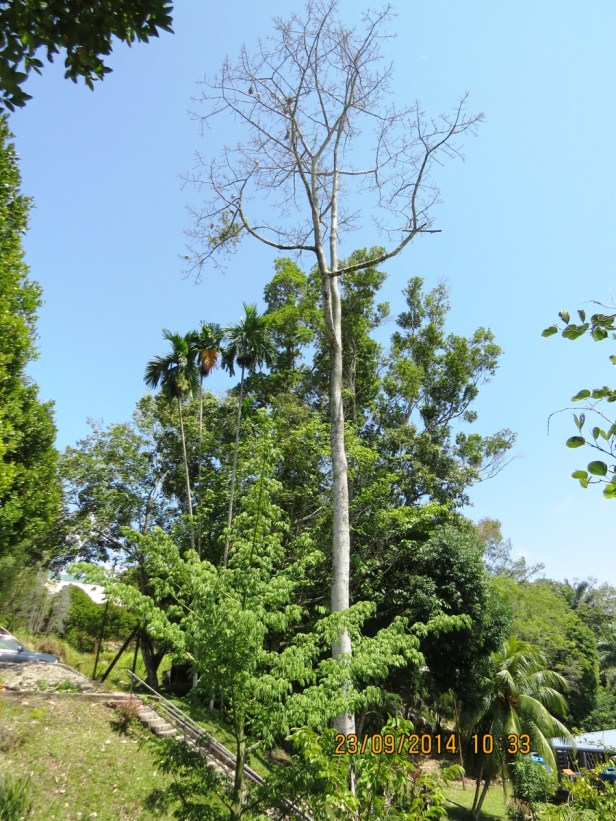 Ficus callosa IMG_0277 - Copy.JPG