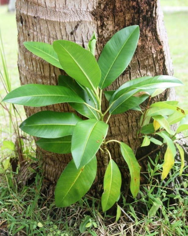 Ficus glandifera IMG_9734 - Copy.jpg