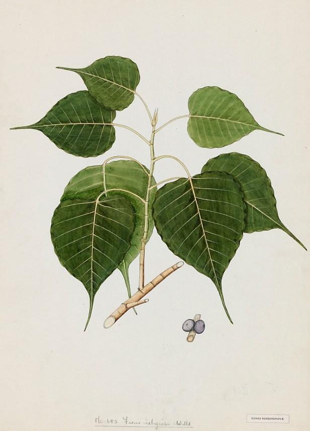 Ficus religiosa Roxburgh 683 illus.jpg