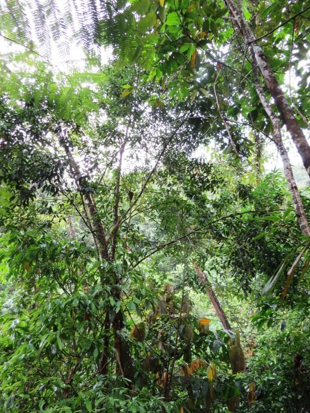 Ficus sundaica IMG_2666 - Copy.JPG