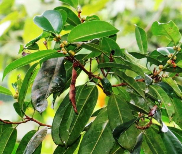 Ficus sundaica IMG_2675 - Copy.JPG