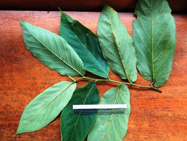 Ficus sp. 1.  Arboretum trail. Sapulut FMU 1st to 3rd June 2016 Anthea  (1).JPG