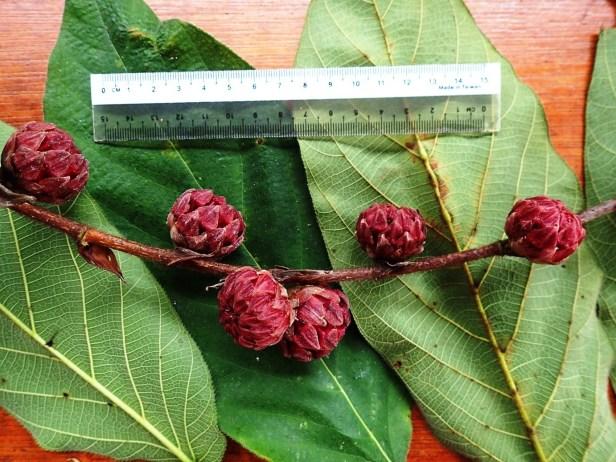 Ficus sp. 1.  Arboretum trail. Sapulut FMU 1st to 3rd June 2016 Anthea  (3).JPG