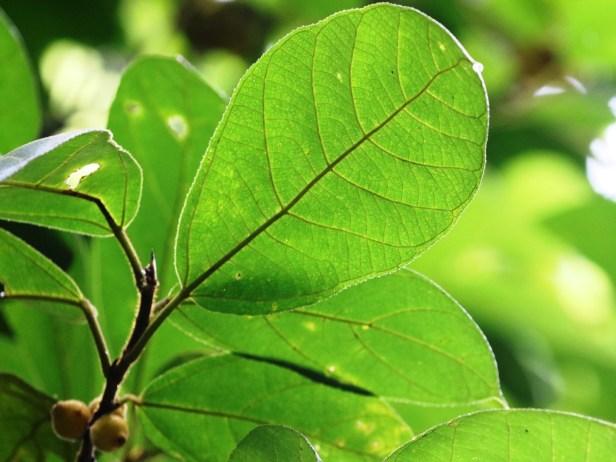 Ficus aurata Bukit Patoi 04 .JPG