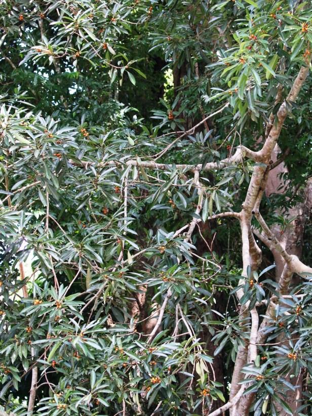 Ficus crassiramea  Bangar Brunei 04 .JPG