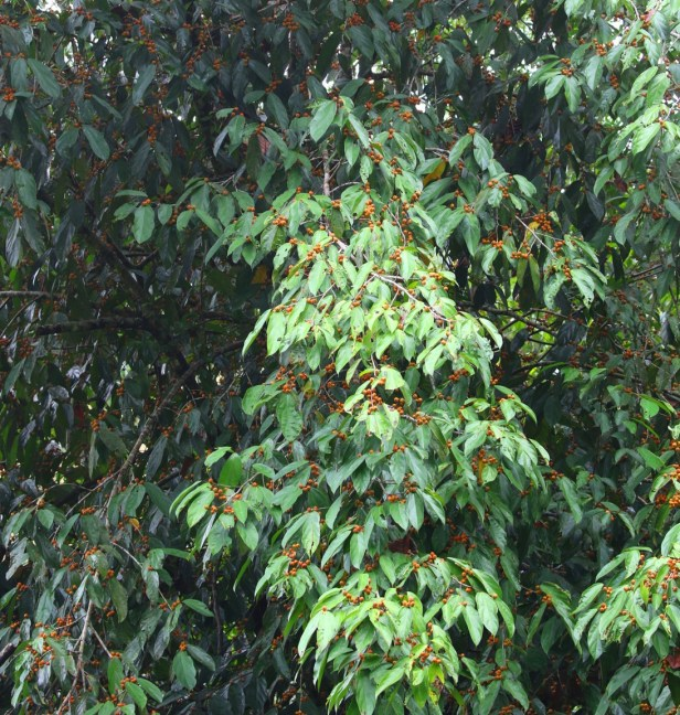 Ficus parietalis Bulit Patoi Arlene 05.JPG