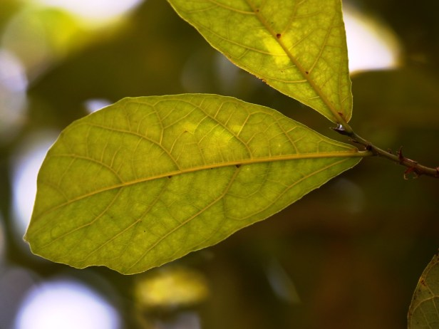 Ficus scabberima Bukit Patoi Arlene 03.JPG